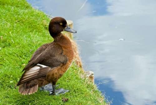 Duck Animal Bird Wildlife Portrait Close-Up