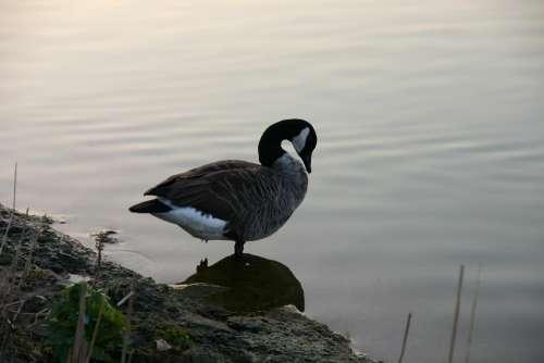 Duck Water Bird Abendstimmung Lake
