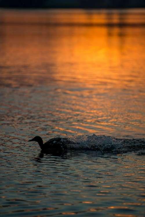 Duck Bird Water Flying Wings Feathers Silhouette