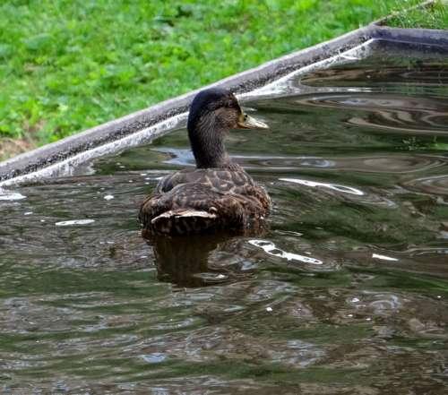 Duck Water Bird Water Bird