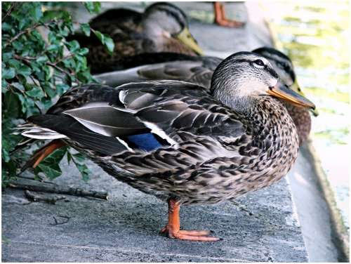 Duck Ducks Bird Animal Cute Duck Bird Nature