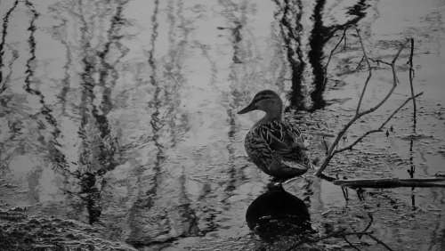 Duck Black And White Water Lake Waterfowl Ducks
