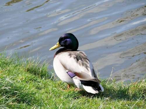 Duck Drake Plumage Bird Water Bird Elegant