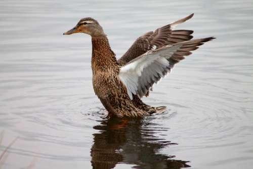 Duck Animal Water Bird Flutter