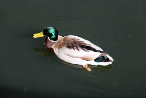 Duck Animal Bird Ducks Water Wild Bird