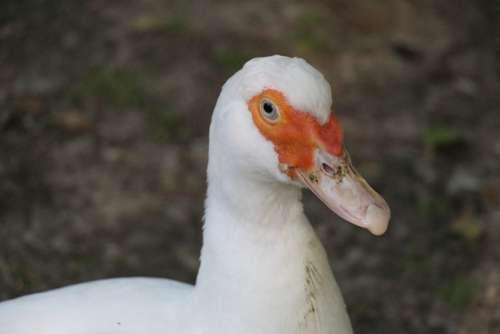 Duck White Duck Bird Poultry Duck Bird Animal