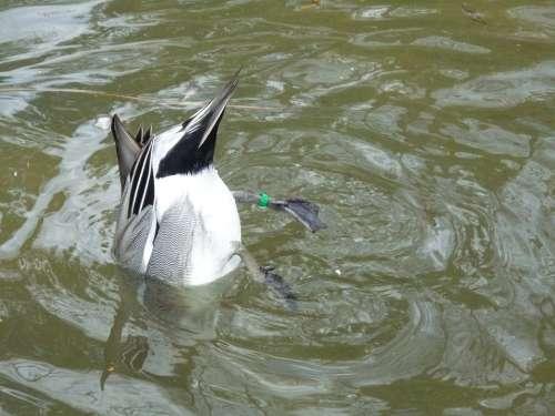 Duck Water Tail Water Bird Bird Animal Duck Bird