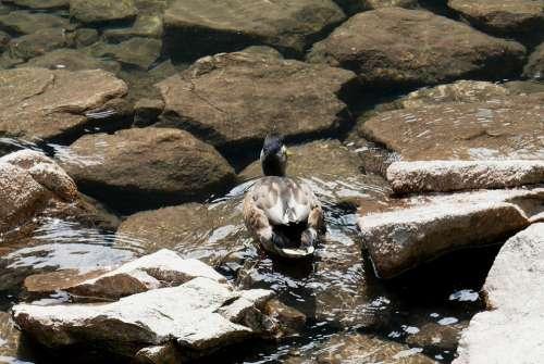 Duck Nature Polish Tatras