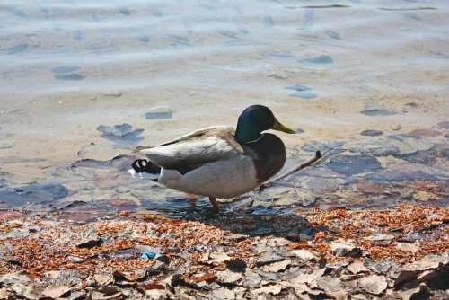 Duck Animal Lake Nature Water Bird