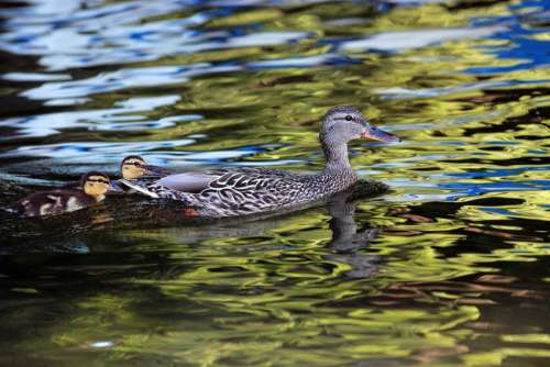 Duck Ducklings Lake Water Young Mother Female