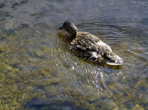 Duck Nature Water Natural Duck Bird Animal Lake
