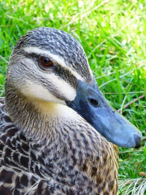 Duck Mallard Female Beak Animal Bill Waterbird