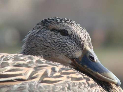 Duck Resting Female Sunshine Outdoors Macro
