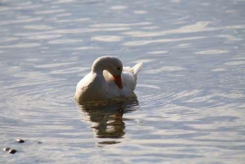 Duck Water Lake White Swim Summer Animal