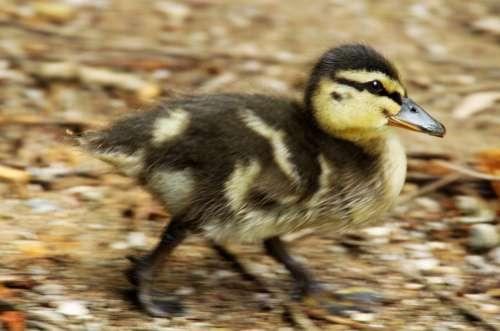 Duckling Duck Bird