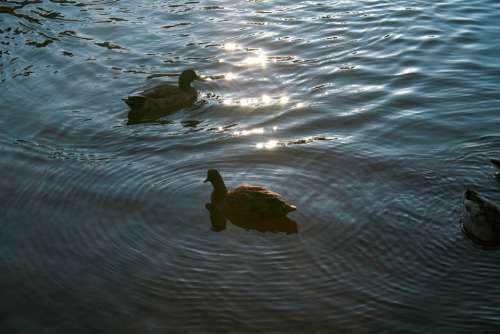 Ducks Animal Bird Nature Water Stream Canal