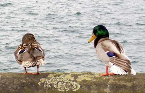 Ducks Drake Couple Pair Two Waterfowl