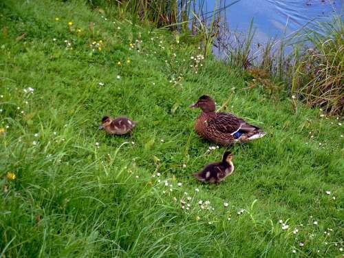 Ducks Chick Chicks Duck Mother Duck Small Cute