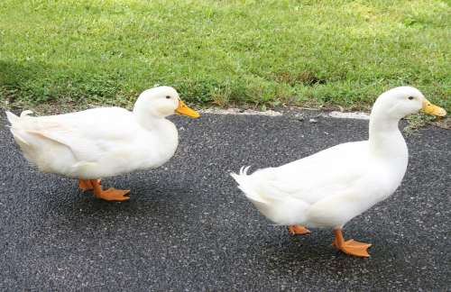 Ducks Walking Farm Animals Bird White Domestic