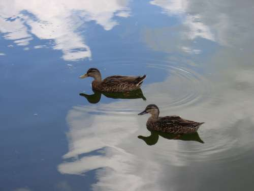 Ducks Birds Water Reflection Clouds Wildlife