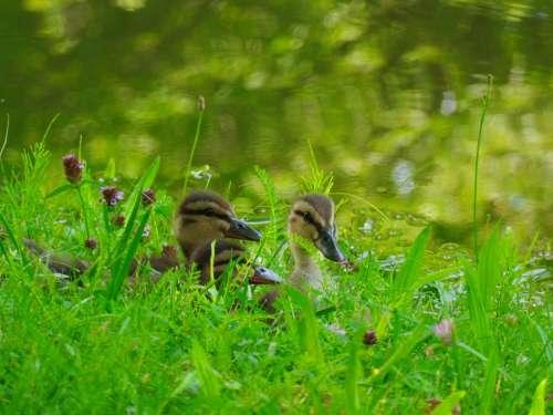 Ducks Chicks Water Bird Animal Bird Bill