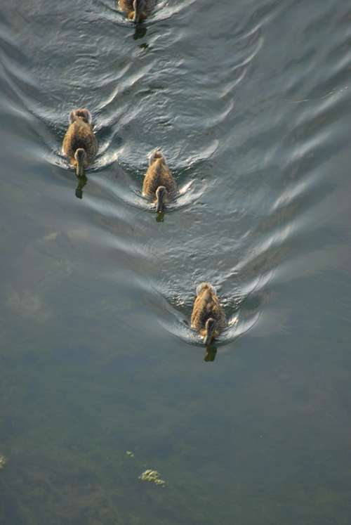 Ducks Water Nature Birds Animals Lake Animal