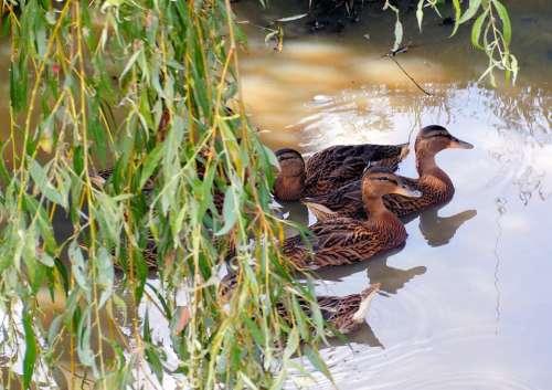 Ducks Water Wild Bird Feather Reflection