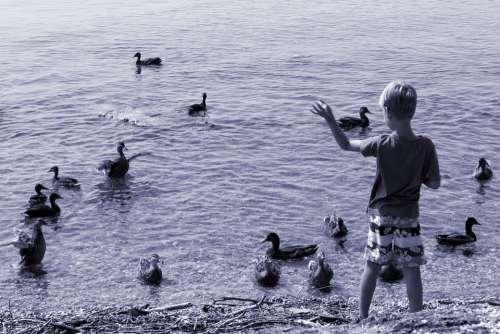 Ducks Child Feed Boy Waters Water Animal Lake