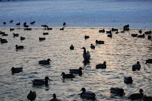 Ducks Water Lake Animals Bird Duck Wild