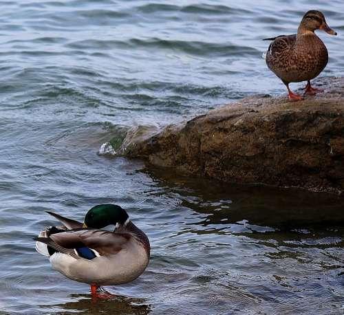 Ducks Pair Of Ducks Couple Stone Water Shallow