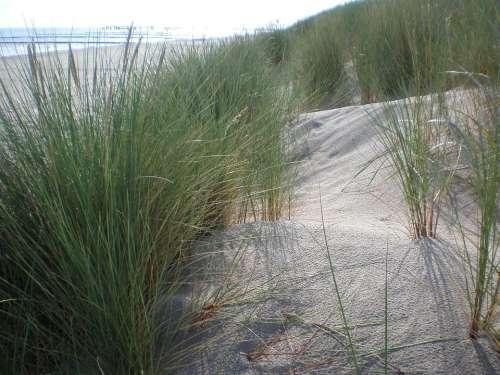 Dune Grass Beach Bank Dunes Baltic Sea Plant