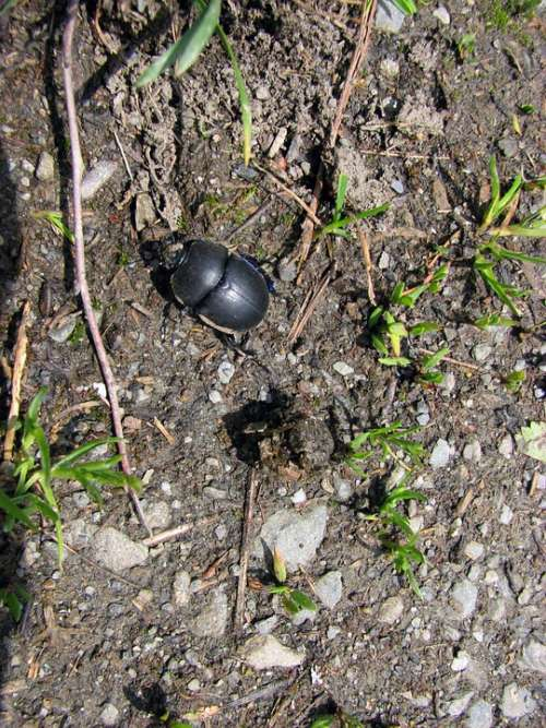 Dung Beetle Insect Nature Ground