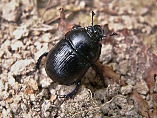Dung Beetles Beetle Macro Black Dung Beetle