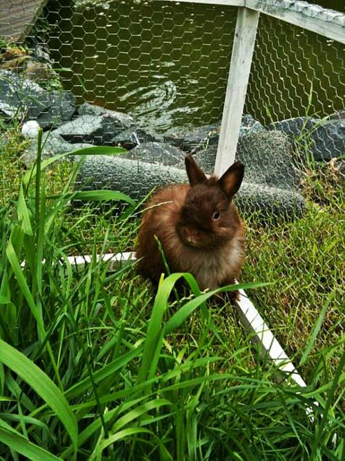 Dwarf Bunny Rabbit Long Eared Animal Brown Garden