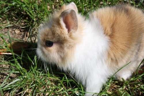 Dwarf Rabbit Rabbit Hare Bunny Cute Garden Summer