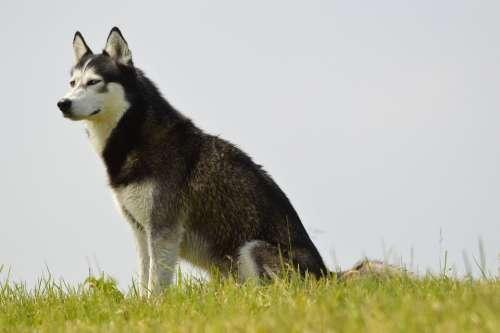 E-Card Dog Pet Husky Loki Denmark Holland Model