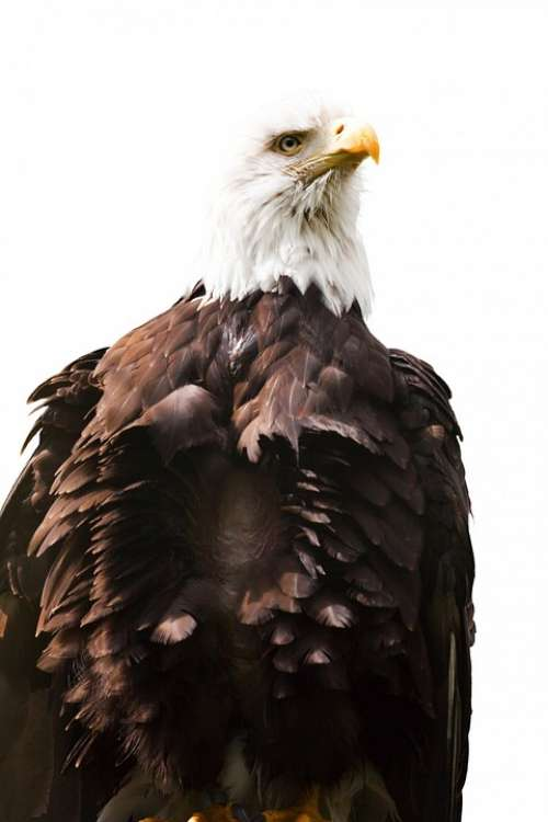 Eagle American Bird White America Endangered