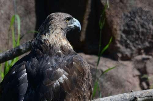 Eagle Bird Bird Of Prey Raptor Eagles Majestic