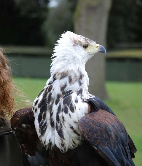Eagle Predator Sharp Eyed Close Up Raptor