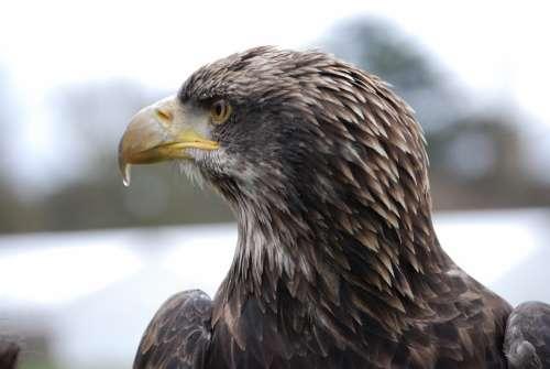 Eagle Close-Up Beak Portrait Eye Eurasian Winter