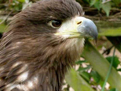 Eagle Eye Beak Bird Nature Wildlife Feather Head