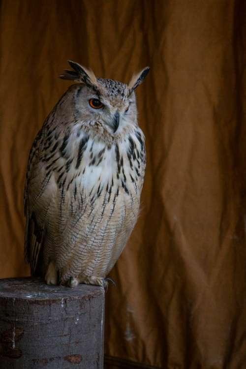 Eagle Owl Bird Animal Feather Wing Raptor Birds