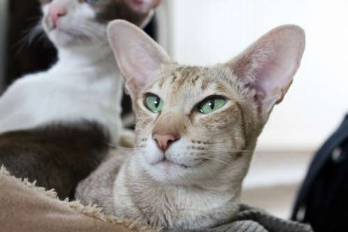 Ears Cat Brown Kitten Oriental Shorthair Cozy