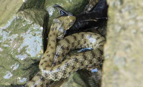 Eat Eating Fish Hunt River Snake Venom Water