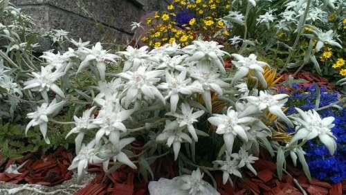Edelweiss Garden Nature