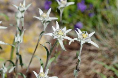 Edelweiss Protected White Rarely