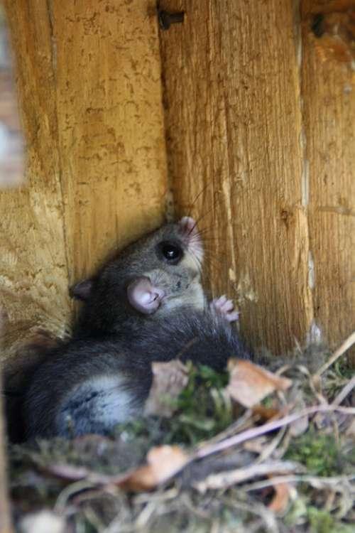 Edible Dormouse Rodent Nocturnal Cute Animal Climb
