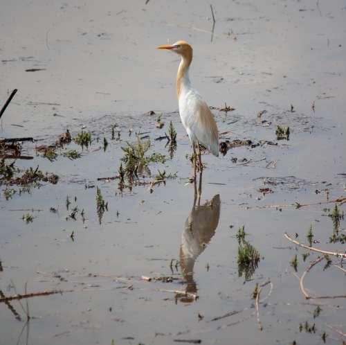 Egret Bird White Standing Water Animal Wildlife