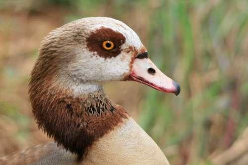 Egyptian Goose Goose Waterfowl Head Neck