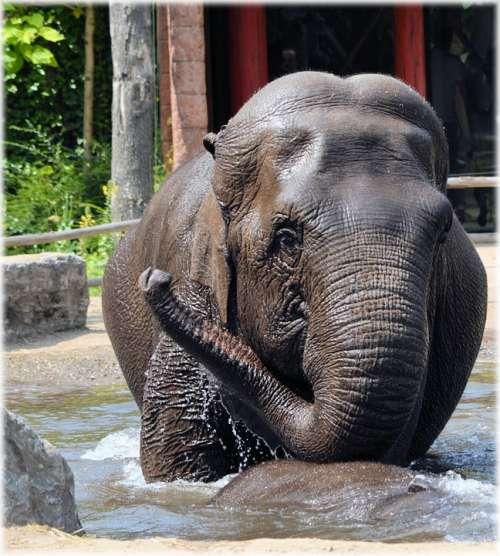Elephant Indian Elephant Pool Water Bath Bathing